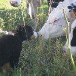 Ballade du 22 juillet 20012 rencontre-avec-les-vaches-150x150